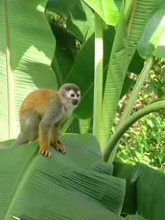 Squirrel Monkey saying Hello