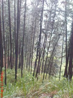 Pine, Firs and other coniferous trees charm the landscape