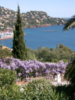 Wisteria in the spring, beautiful azure Med.  Taken from our place.