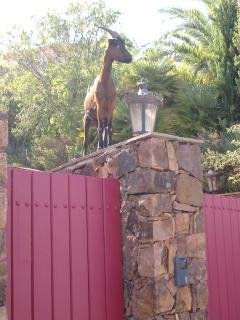 A goat on a gatepost of course!  Up the hill a ways.