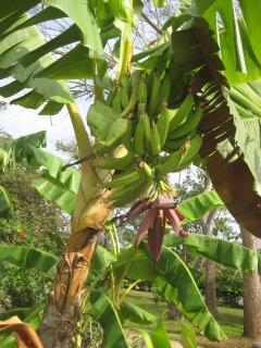 Banana  Help Yourself We Also Have Plantain and Wild Cilantro if You Can Find it