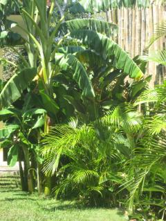Banana Trees and Small Palms