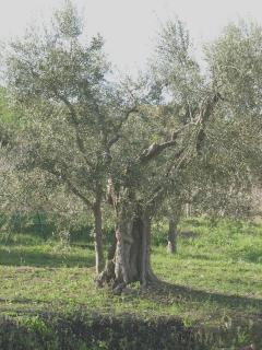 Our Olive Trees