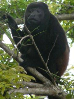 Howler monkeys willlet you know when it is 6 am and 6 pm!!!