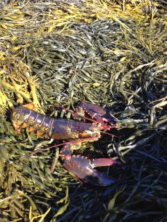Pesky Critters!...Lobsters