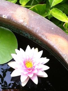 Stunning water lillies appear in the pond in summer.