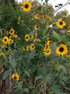 Thousands of sunflowers in the fall!
