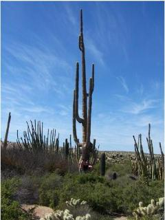 MASSIVE SAGUARO CACTUS WITHIN 1 MILE
