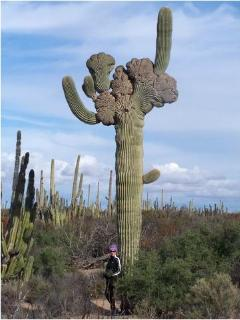 MASSIVE MUTANT CACTI [10 miles north]