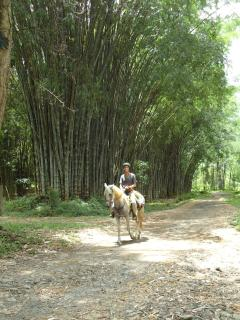 Bambu forest on the way to the beach