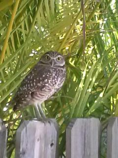 Local KCB Owls