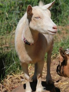 Pixie the gentle goat