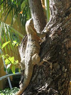 Friendly iguanas around the pool