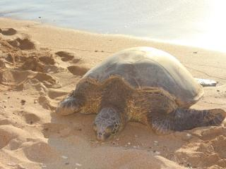 Turtle hanging out at Kahana beach across the road and 2 min walk South