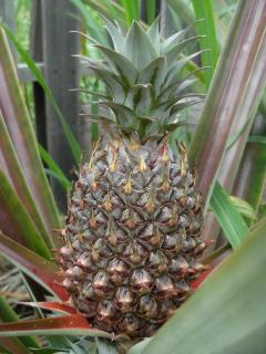Pineapple growing in garden