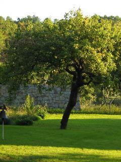 my grand grand father's pear tree in the garden