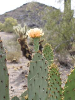 Cactus blooming in April