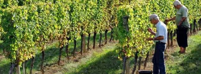 a Cahors vineyard