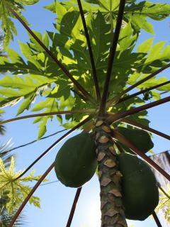 Papayas in Garden