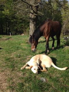 Our lab dog Sammy with free ranging Pony Boy