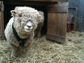 Jobey, one of our two sweet original breed Olde English Southdown sheep.