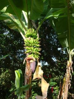 banana tree in front yard