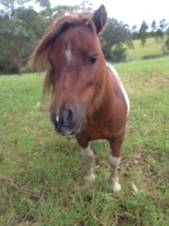 Zack - our mini horse.