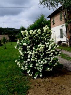 ln primavera questa pianta si colora di tante infiorescenze bianche. Che spettacolo!!