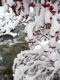 Berries in the snow.