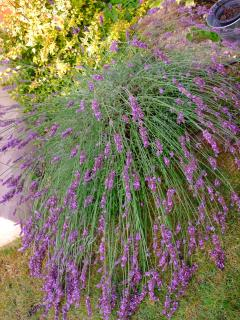la lavande du jardin juin-juillet