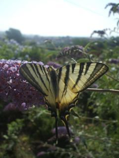 A lovely presence at home: Swallowtail (Papilio machaon)