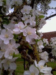 Spring has sprung and the orchard is a wash with blossom