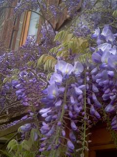 Wisteria in full bloom along the front of the farmhouse