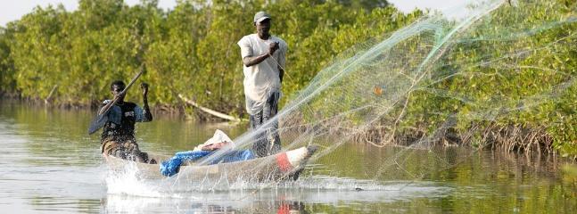 Pêche au filet dans les bolongs (mangrove)