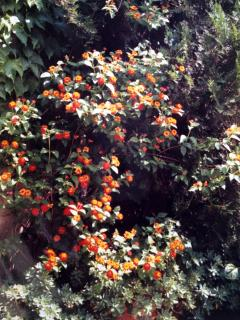 The plants of the terrace - in lantana flower