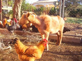 Georgina the goat with the chickens