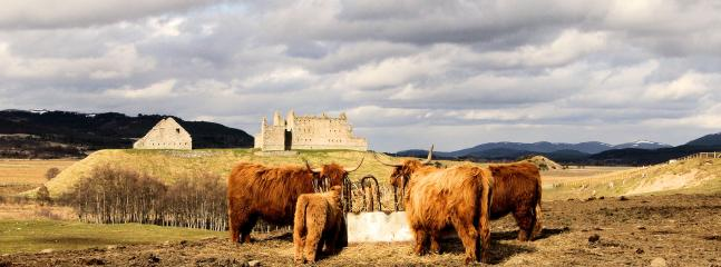 Highland Cattle at the entrance driveway with Ruthven Castle behind