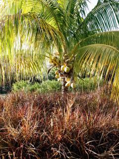 coconut and purple fountain grass