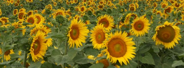 Sunflowers are all around in the season as are lovely fresh melons.