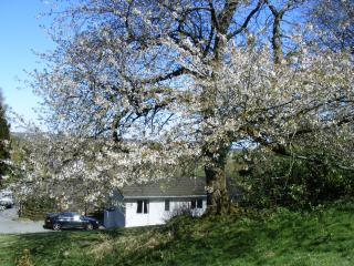 cherry tree in the garden of Llys Cadfan