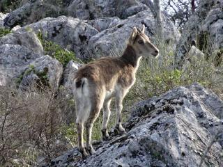 Wild Ibex in the garden