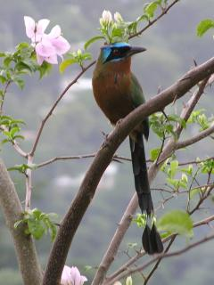 The Motmot, a  frequent visitor
