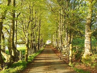 Beech lined driveway to the cottage