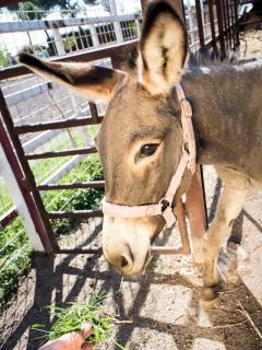 Donkey Margherita