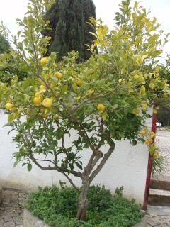 Lemon tree by the kitchen - ideal for gin & tonics