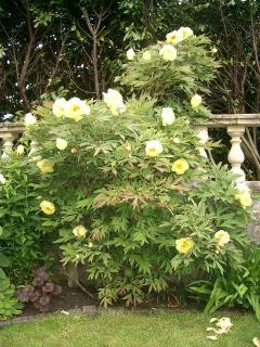 High Noon tree Peony
