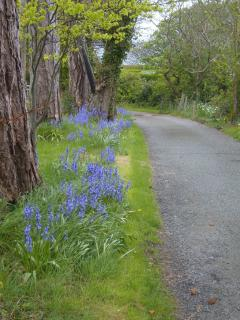 Bluebells on the drive.