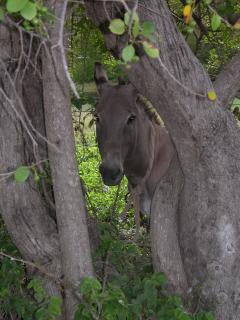 Adorable Antiguan Donkey - look hard
