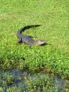 Yes, there are alligators