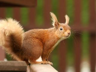 Red squirrel in the cottage garden is a regular visitor